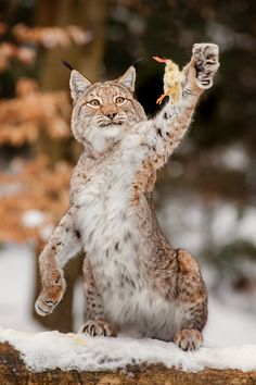 Canadian lynx / Bobcat :: by Stefan Betz. Animals And Pets, Baby Animals, Funny Animals, Cute Animals, Wild Animals, Big Cats, Cool Cats, Cats And Kittens, Beautiful Cats