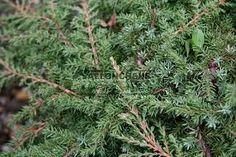 juniperus communis green carpet 2014 - lost