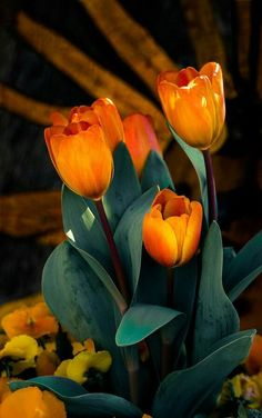 Fotoğraf: Meaning of Tulips Meaning of the Color of Tulips tulip flower sym Tulips Garden, Tulips Flowers, Exotic Flowers, Orange Flowers, Amazing Flowers, My Flower, Spring Flowers, Planting Flowers, Beautiful Flowers