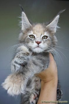 It looks like a little lynx! xD Maine Coon of Superbia - Girls - Superbias Escada Pretty Cats, Beautiful Cats, Animals Beautiful, Pretty Kitty, Chat Maine Coon, Maine Coon Kittens, Funny Cats, Funny Animals, Cute Animals
