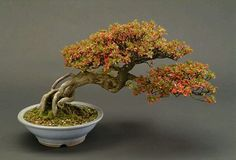 Doblado bonsai