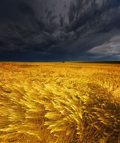 Awesome contrast of wheat field and grey stormy clouds
