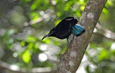 Paradise Riflebird  http://www.birdlife.org.au/bird-profile/paradise-riflebird