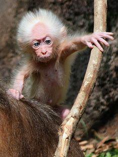 Bebê macaco que parece Albert Einstein é visto na Malásia