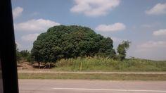 Arbol elefante