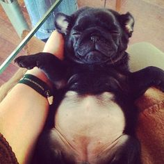 Pot-bellied pug