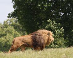 Lion And Lioness, Lion Of Judah, Lion Photography, Lions Photos, Lion Wallpaper, Male Lion, Lion Pictures, Le Roi Lion, Mundo Animal