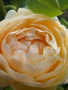 Wollerton Old Hall yellow climbing rose (David Austin)