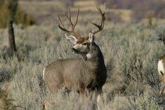 One of the most popular ways to hunt turkeys is with a bow and arrow. It is a tradition in North America, apparently, that relies on turkey calling and making the perfect shot. Mule Deer Hunting, Deer Hunting Tips, Deer Family, Turkey Hunting, Animal Games, Elk, Moose, Wildlife, Big Boys