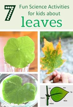 Leaves Science experiment projects for Kids: leaf structure, shape, color, … Fun STEM activities for kids to learn about trees and plant life cycle and parts of plants. For preschool to grade 6 nature class, Fall Winter science activities Nature Activities, Science Activities For Kids, Kindergarten Science, Autumn Activities, Science Lessons, Stem Activities, Science Ideas, Learning Activities, Kid Science