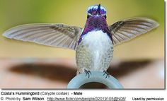 Costa's Hummingbird (Calypte costae) - Female