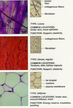 Yolanda - Anatomy and Physiology: Tissue: The Living Fabric Tissue Biology, Cell Biology, Nursing School Notes, Nursing Schools, Medical School, Medicine Notes, Human Tissue, Tissue Types, Medical Laboratory Science