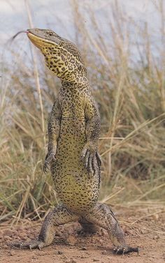 The Australian Goanna can grow as large as 8 feet. #LizardLove