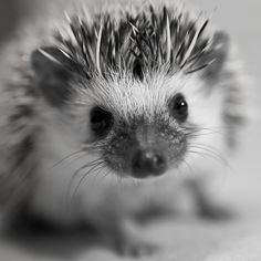 Pet Hedgehog... What a lovely black and white of one of our prickly little hedgehog friends!