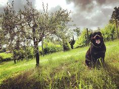 """Mi piace"": 29, commenti: 2 - ROTTWEILER ARLO 134 (@rottweiler_arlo_134) su Instagram: ""#rottweiler #rottweilerarlo134 #dog #theking #instagram #therottweilerworld #naturephotography…"" Rottweiler, Nature Photography, Fictional Characters, Instagram, Art, Pictures, Kunst, Rottweilers, Outdoor Photography"