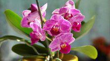 Sú listy orchideí ochabnuté, odpadajú im púčiky a nechcú kvitnúť? TAKTO im… Cattleya Orchid, Moth Orchid, Lilium Martagon, Growing Orchids, Plant Guide, Special Flowers, Blue Orchids, Do It Yourself Projects, Beautiful Roses