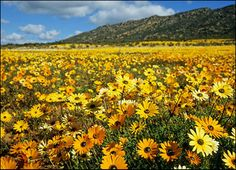 Namaqualand, south africa, field of flower, sunny colors World's Most Beautiful, Beautiful Places, Champs, Daisy, Field Of Dreams, Out Of Africa, Mellow Yellow, Color Yellow, Colour