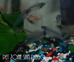 Catfish For Sale, Aquarium Catfish, Home Aquarium, San Diego, Fishing, Cats, Animals, Gatos, Animales