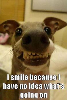 Lustige Tier Memes des Tages – 32 Bilder – Lovely Animals World … - Hunde Lustig Puppy Quotes Funny, Funny Animal Quotes, Funny Dog Memes, Animal Jokes, Cute Funny Animals, Cute Baby Animals, Funny Cute, Funny Dogs, Dog Quotes