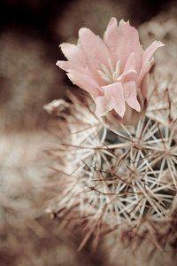 Desert rose / Discovered at the U. Botanic Garden Washington D. : Desert rose / Discovered at the U. Botanic Garden Washington D. Desert Flowers, Desert Plants, Desert Rose, Desert Cactus, Cacti And Succulents, Cactus Plants, Flowers Garden, Planting Flowers, Foto Rose