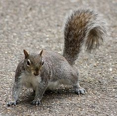 Squirrel ready to run from danger