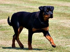 Rottweiler Predatory Aggression can happen without any warning signs. Rottweiler predatory aggression can be prevented with proper socialization. Chihuahua Dogs, Pet Dogs, Dogs And Puppies, Doggies, Animal Shelter, Animal Rescue, Shelter Dogs, Rottweiler Pictures, Animals And Pets