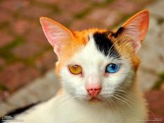 Photographed by Bobby Pfeiffer in 2009, this cat displays a rather striking genetic mutation. Known as genetic heterochromia iridis, the eyes are two completely different colours.