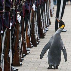 Rowing Blazers, Penguins, Animals, Animales, Animaux, Penguin, Animal, Animais