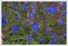 anchusa italica. plant in june, blooms next spring with tulips