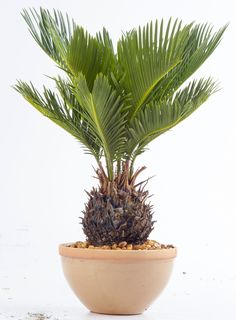 Feathery dark green leaves on top of a short stem give sago palm a texture-rich appearance. Feathery dark green leaves on top of a short stem give sago palm a texture-rich appearance. Small Plants, Indoor Plants, Indoor Gardening, Container Gardening, Zebra Plant, Easy Care Plants, Plant Care, Corn Plant, Crassula Ovata