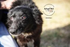 5 / 5    ****SENIOR*** Petango.com – Meet Jemima, a 9 years 2 months Border Collie / Mix available for adoption in KANSAS CITY, MO Address  9300 NW 97th Terrace , Unit, KANSAS CITY, MO, 64153  Phone  (816) 298-9997  Website  http://www.DogsbyDebin.com  Email  dogsbydebin@gmail.com