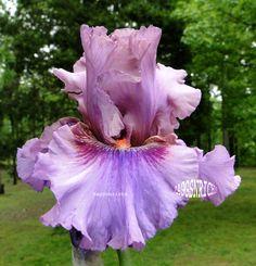 """Tall Bearded Bearded """"RUBY HAZE"""" Iris - FRAGRANT DUSKY ROSE ORCHID '06"""