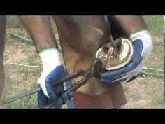 Barefoot Horse Hoof Trim