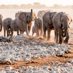 Uma singularidade do Deserto do Namibe é a sua população dos raríssimos elefantes do deserto, que se adaptaram para sobreviver sem água por vários dias. Se você der sorte de conseguir se deparar com um bando deles correndo na areia, pode conseguir cliques dignos de concurso fotográfico. Elephant, Deserts, Travel, Animals, World, Elephants, Africa