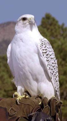 White hawk - Top Of The World Pretty Birds, Beautiful Birds, Animals Beautiful, Beautiful Pictures, Gorgeous Gorgeous, Nature Animals, Animals And Pets, Cute Animals, Eagle Animals