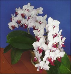 How to care for phalaenopsis orchids (also known as moth orchids or beginner orchids).