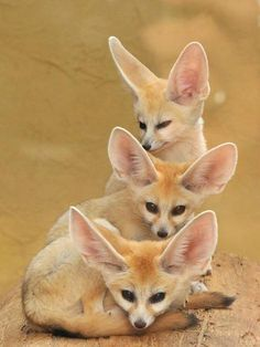 Met a four-year-old fennec fox at the Universal Studios animal show, now I can't get enough of them!