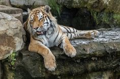Tiger relaxing - pitkin9 Flickr.