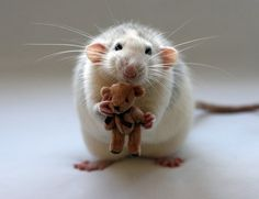 rat with a teddy bear, Rats make sweet loving pets.
