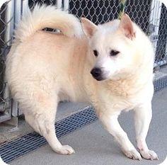 Westampton, NJ - Shiba Inu Mix. Meet Snowball D-63274, a dog for adoption. http://www.adoptapet.com/pet/12577252-westampton-new-jersey-shiba-inu-mix