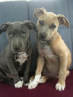 Pit Bulls! Just look at those eyes!