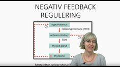 Det endokrine systemet: Negativ feedback regulering