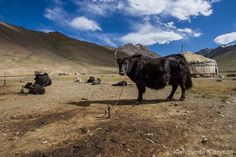 Pshart Valley Murgab Pamir Highway Tajikistan We came across this nomadic yurt camp complete with yaks et al upon entering the Pshart Valley an extremely photogenic valley north of Murgab. #centralasia #pamirhighway #tajikistan #yak #travel