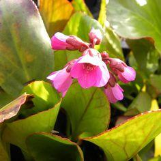 Bergenia 'Rotblum' - Plante des Savetiers
