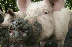 Organic pig at the farm of Nature & More vegetable grower Krispijn van den Dries