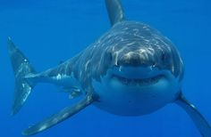 Shark Attacks on the Rise, But Fewer Deaths - DISCOVERY NEWS #Shark, #Wildlife, #Attacks