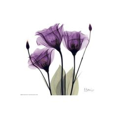 Royal Purple Gentian Trio Wall Art Print (€7,49) ❤ liked on Polyvore featuring home, home decor, wall art, wall-cover, interior wall decor, wall posters, home wall decor and mounted wall art