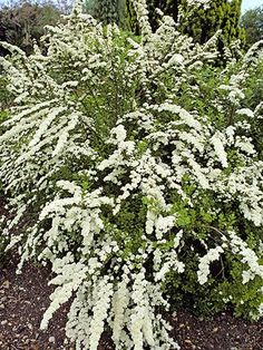 "Genus: S. nipponica 'Snowmound' Zones: 3 to 8 ""The tiny cascading summer blossoms are spectacular. But the wild waterfall-like shape of the stems gives great 'fill' to landscapes year-round."" —Rebecca Cole, garden designer, New York City Garden Shrubs, Lawn And Garden, Easy Garden, Planting Shrubs, Planting Vegetables, Garden Soil, Cheap Garden Plants, Drought Tolerant Shrubs, Front Garden Landscape"