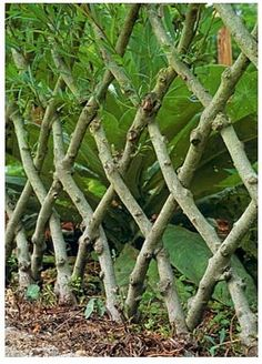 Pleaching or plashing was common in gardens from the late Middle Ages until the 18th century. This technique is a kind of weaving of the branches of deciduous trees or shrubs to form a living fence. Sometimes branches woven together grow together, a natural grafting known as inosculation. Sir Walter Scott brought the technique back to popularity in England when he described such a fence in The Fortunes of Nigel.