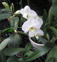 El mundo de las orquídeas es complejo y muy especializado pero podemos iniciarnos en él con esta preciosa orquídea de fácil cultivo.... algunos consejos para ayudarte...